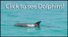 Wild Abaco Dolphins Video